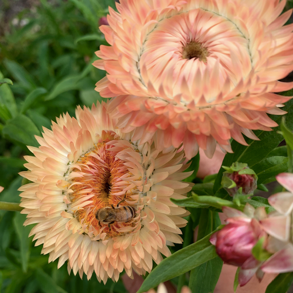 Peach Strawflower