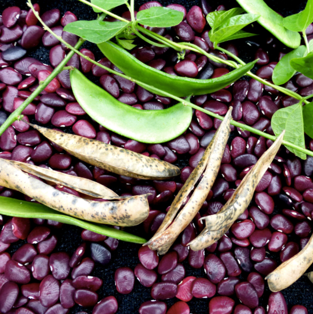 Worchester Indian Red Pole Lima Bean Seed Packet