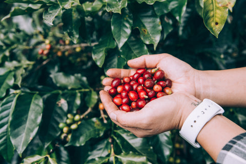 Hand holding coffee. berries in plantation.