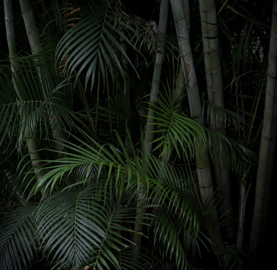 Palm tree leaves on a dark background like a tropical forest at night.