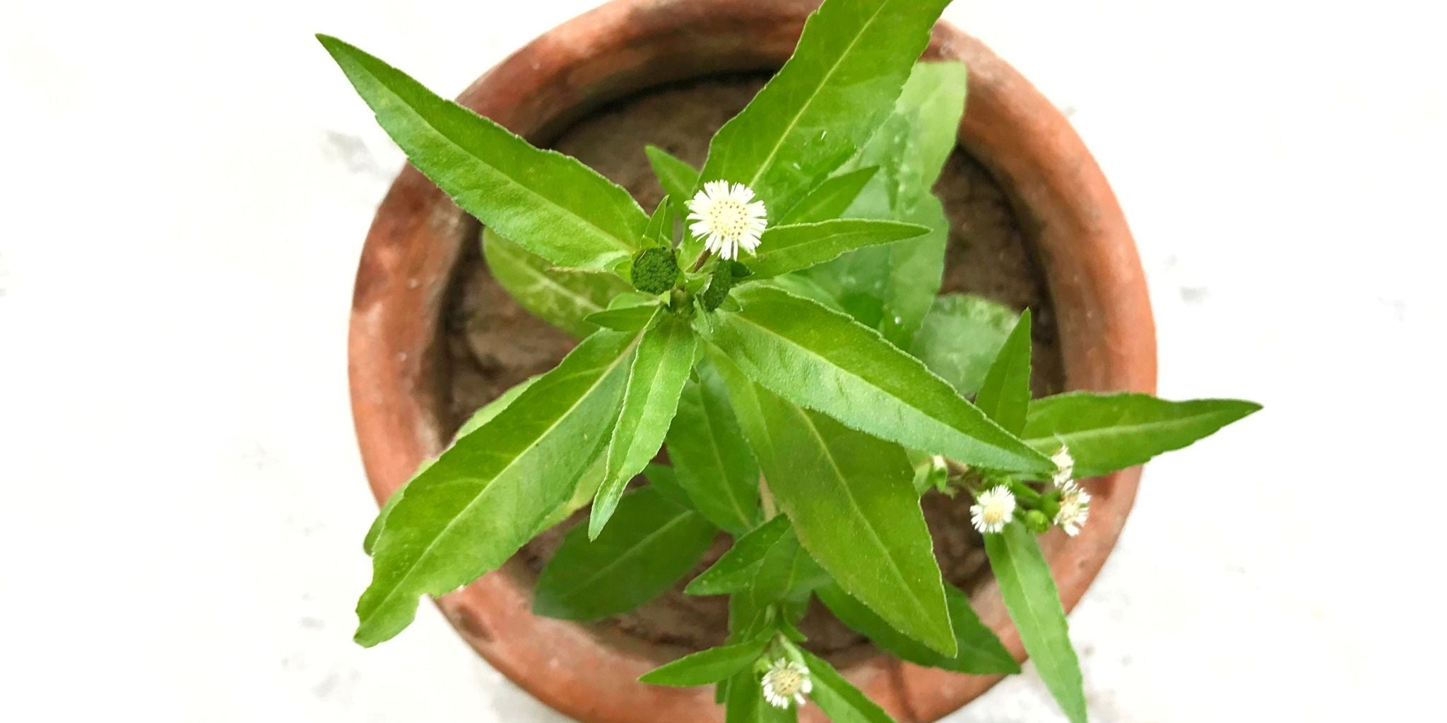 Bhringraj Herb Health Benefits and How to Use It