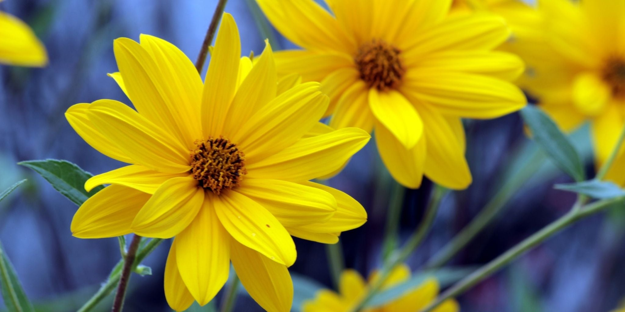 Arnica Massage Oil Benefits and Health Tips