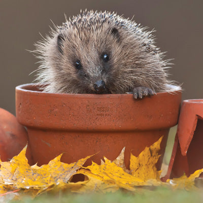 L172 - Hedgehog in Plant Pot Greeting Card