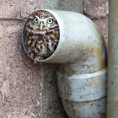 L176 - Little Owl Greeting Card