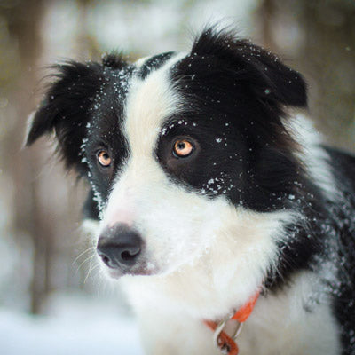L239 - Lava the Border Collie Greeting Card