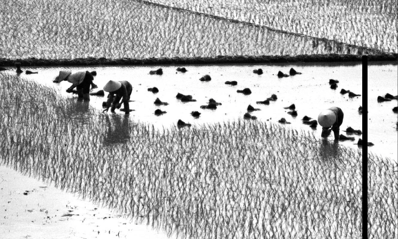 Rice extract - duck cultivation