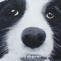 Show me your pearly whites - Border Collie