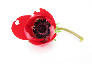 Red Anemone card