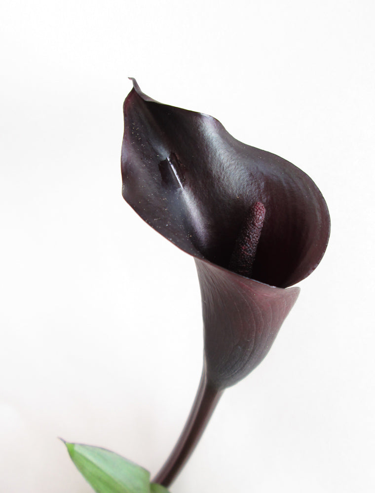Black Calla Vertical card
