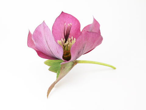 Hellebore Posing as Lotus card