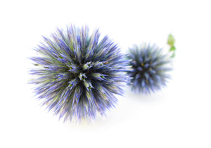 Round Thistle card