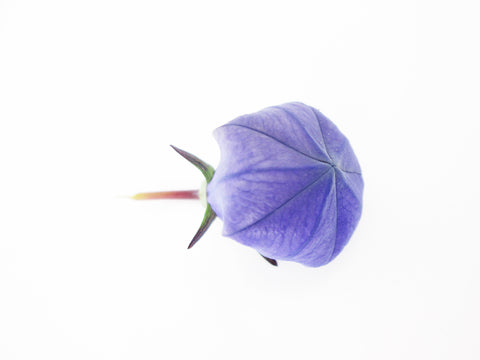 Balloon Flower card