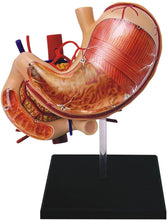 Load image into Gallery viewer, 4D Human Stomach Anatomy Model
