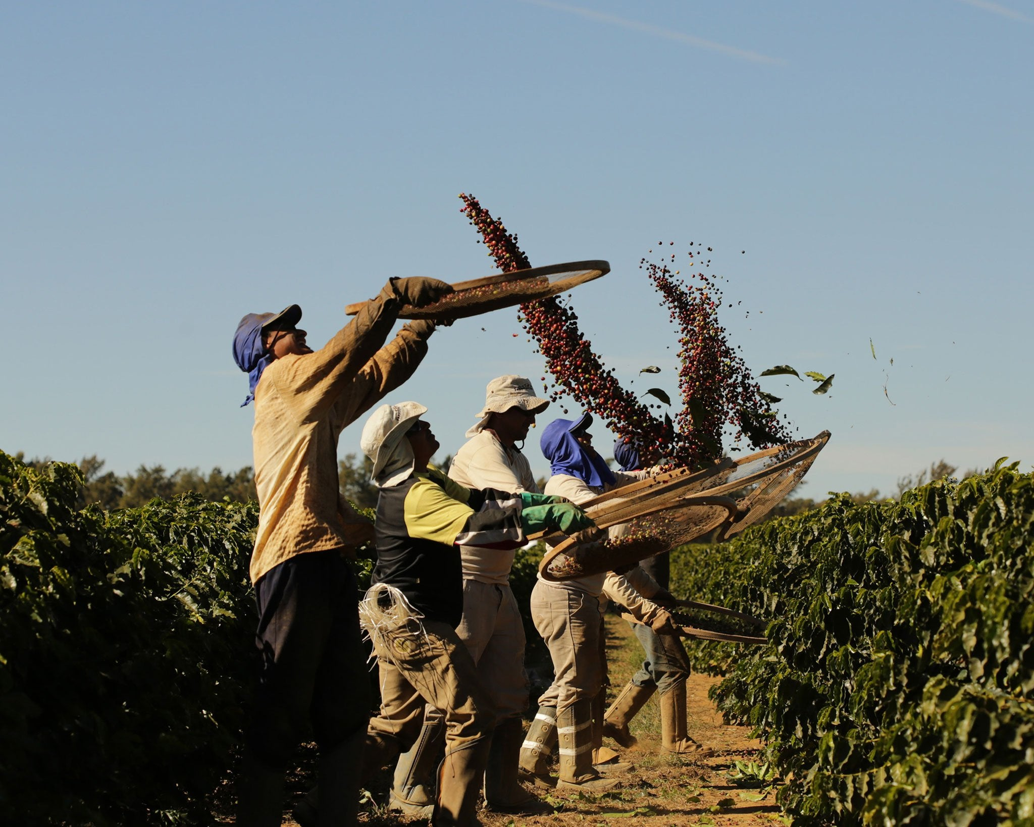 Rio Brilhante Brazil coffee cherries being tossed in the air