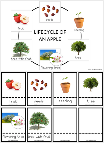 Lifecycle of an apple, Montessori lifecycle cards, nomenclature cards, Montessori free printables