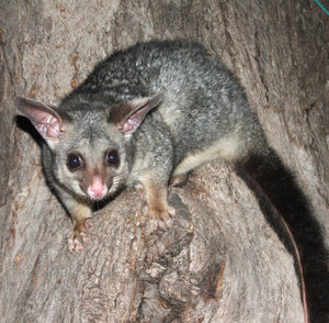 New Zealand Brushtail Possum