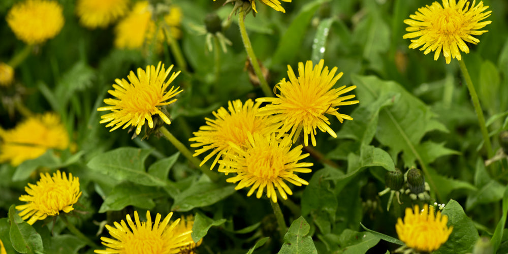 Dandelions edible plants PCT Pacific Crest Trail Long Distance Thru-Hiking Eat Harvest Fresh Food
