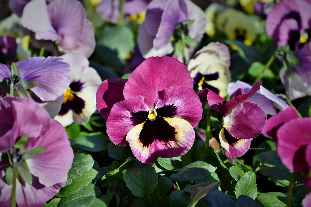 Pansy 4
