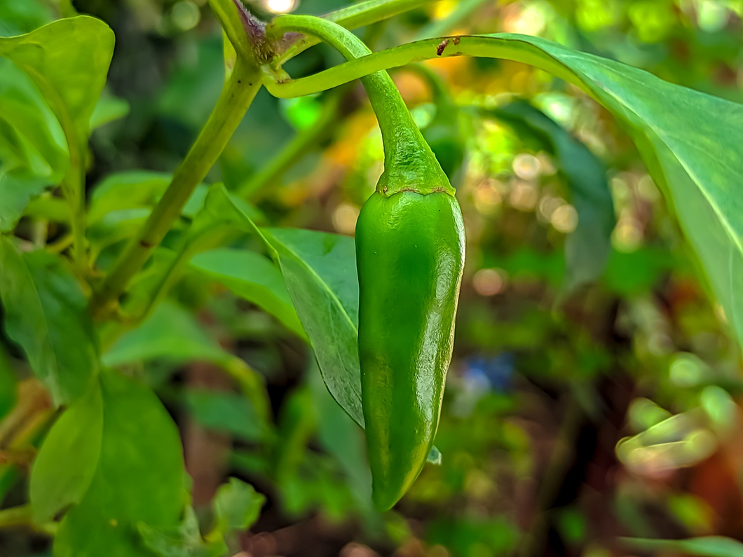 Jalapeño Pepper 3