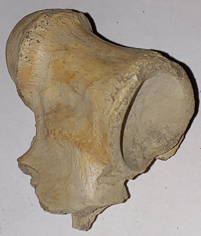 Vertebrae Fossil from Wyoming. 5 cm #879