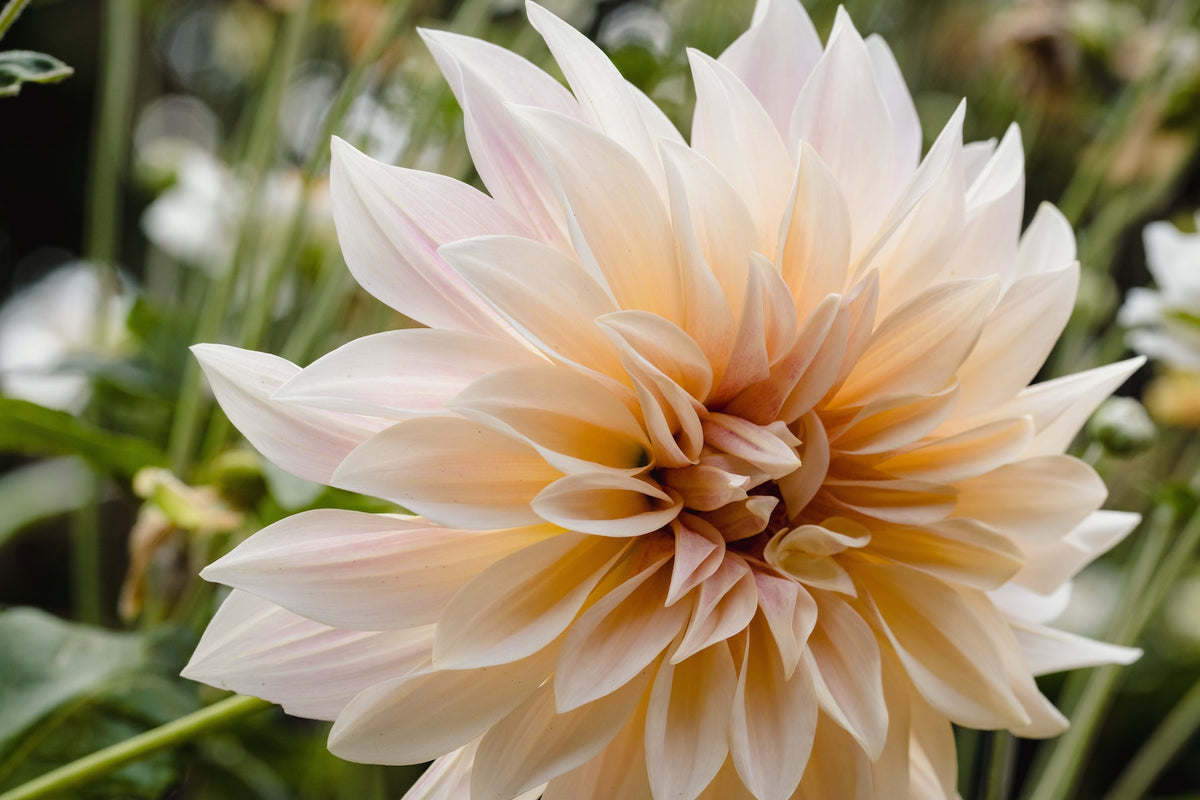 Peach Dahlia Bulbs are a perfect addition to any garden. They are easy to grow and make for a great cut flower garden.