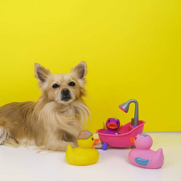 Chihuahua with his toys