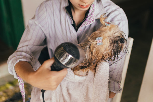 person blow drying wet dog