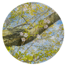 Load image into Gallery viewer, Cherry Blossoms and Trunk, 2019