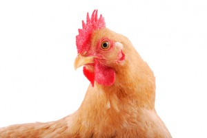 Chicken on a while background - Certified humane chicken