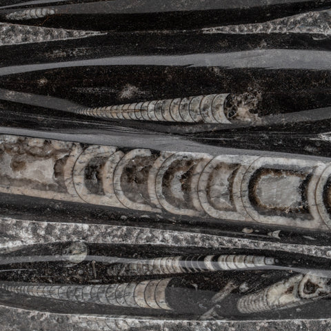 Genuine Polished Orthoceras Fossil