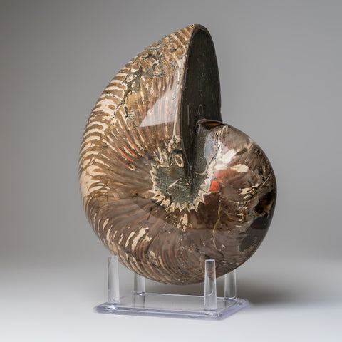 Polished Opalized Ammonite Fossil (9.5 lbs)