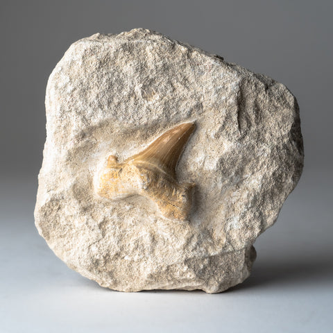 Genuine Pre-Historic Shark Tooth Fossil on Matrix