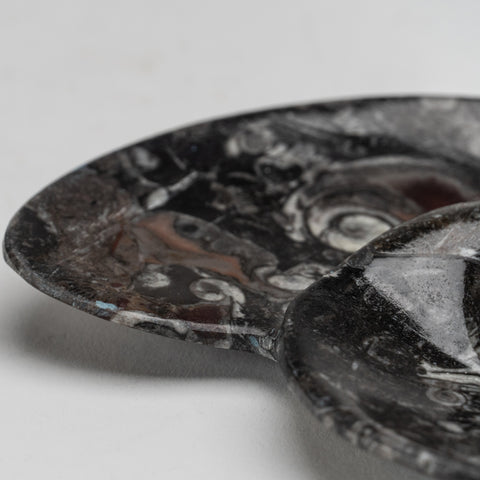 Polished Ammonite and Orthoceras Fossil Plate (1.2 lbs)