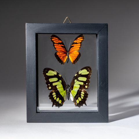Two Genuine Butterflies in Black Display Frame