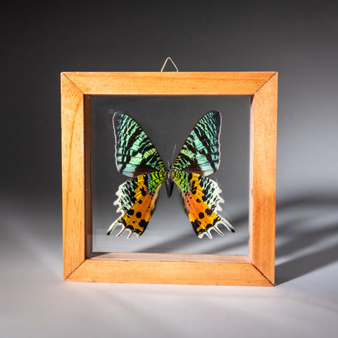 Large Single Genuine Uraniide Butterfly in Natural Display Frame