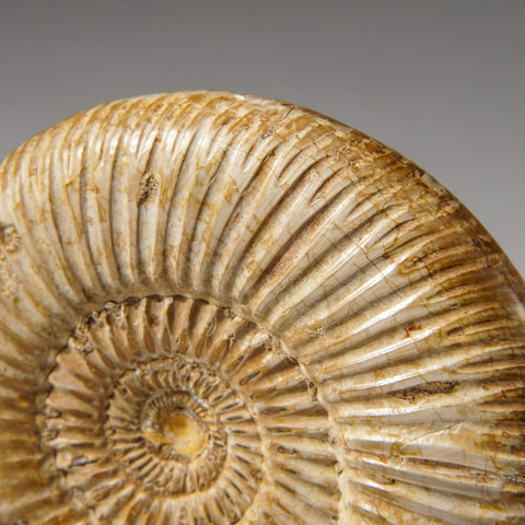 Natural Ammonite Fossil from Madagascar (234.2 grams)