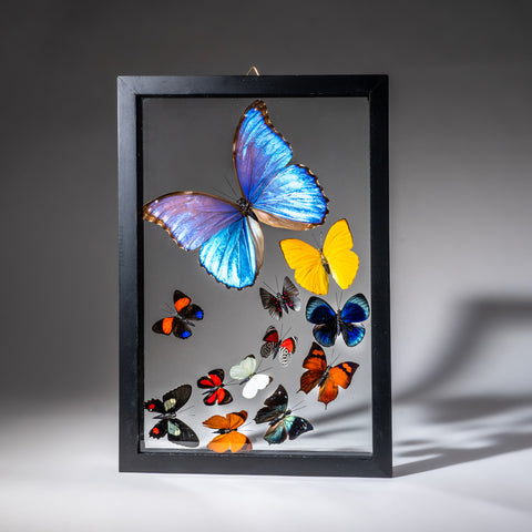 Genuine Butterflies in Black Display Frame (12 Butterflies)