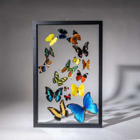 Genuine Butterflies in Black Display Frame (18 Butterflies)