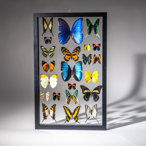 Genuine Butterflies in Black Display Frame (22 Butterflies)