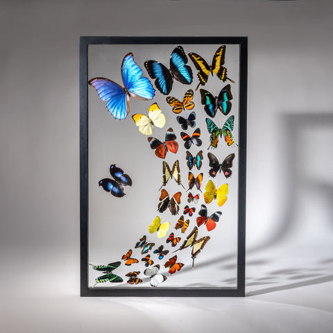 Genuine Butterflies in Black Display Frame (32 Butterflies)