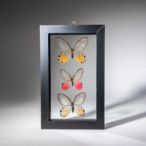 Three Genuine Butterflies in Black Display Frame