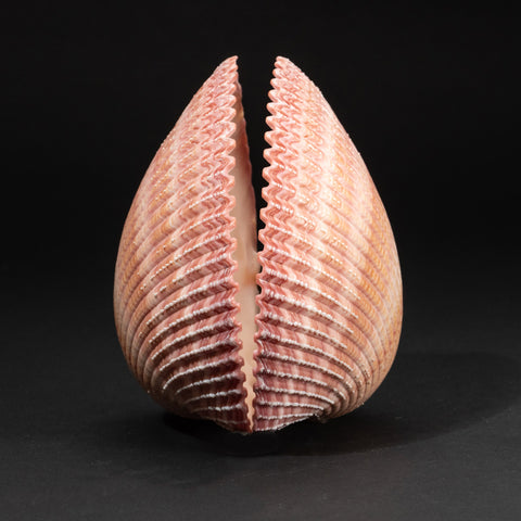 Genuine Pink Cockle Shell (4 lbs)