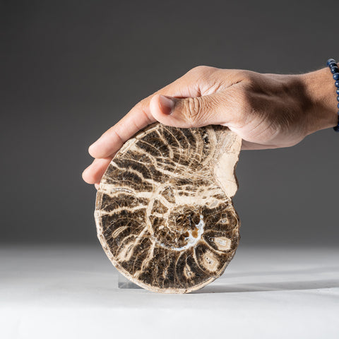 Calcified Ammonite Half From Madagascar (1.2 lbs)