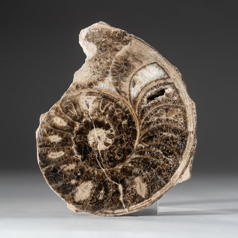Calcified Ammonite Halve From Madagascar (1.2 lbs)