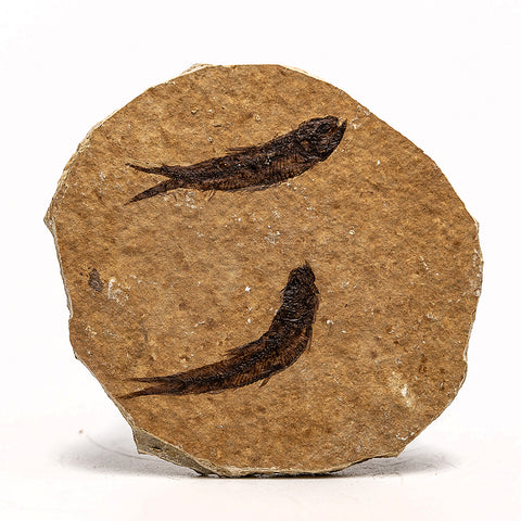 Knightia Fossil Fish from Wyoming (69.1 grams)