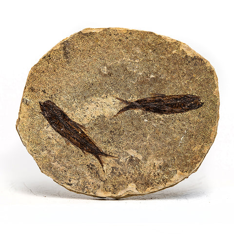 Knightia Fossil Fish from Wyoming (84.5 grams)