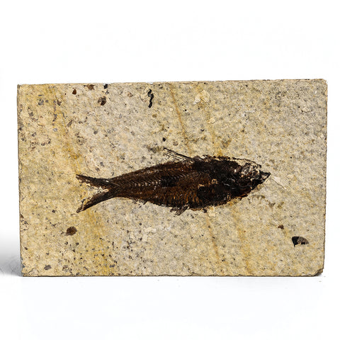 Knightia Fossil Fish from Wyoming (150 grams)