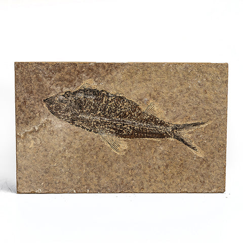 Knightia Fossil Fish from Wyoming (115 grams)