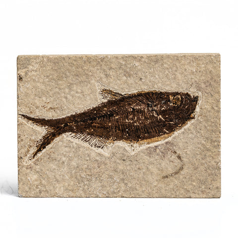 Knightia Fossil Fish from Wyoming (226 grams)