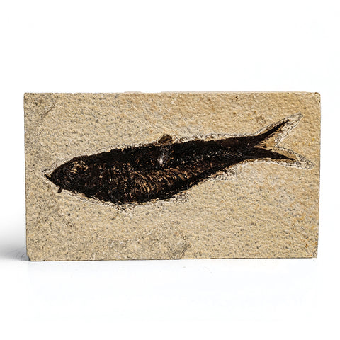 Knightia Fossil Fish from Wyoming (265 grams)